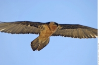 Bearded vulture in the Alps