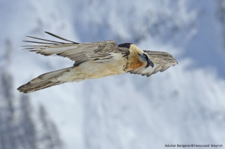 The reintroduction of the bearded vulture in the Alps: a successful transboundary project.