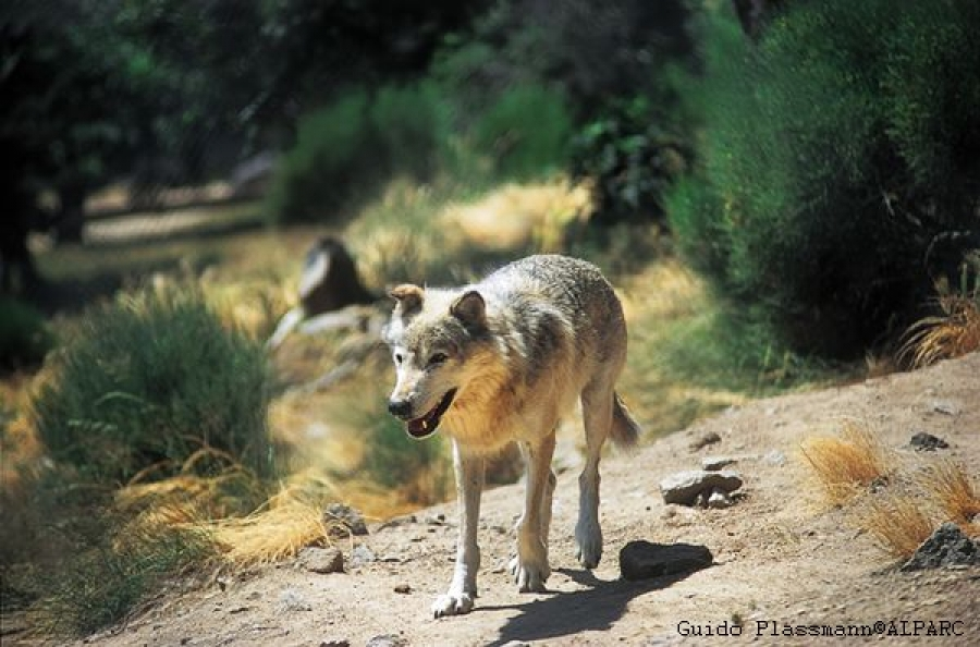"Conference ""The Wolf in the alpine cultural landscape"" - Registration open"
